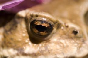 žaba detail oka
