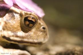 žaba z profilu