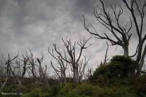 Miyakejima burned trees