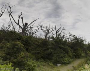 Spálené stromi na ostrove Miyake